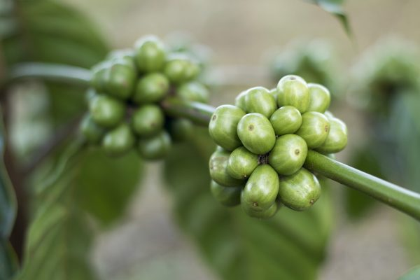 Groene koffieboon plant