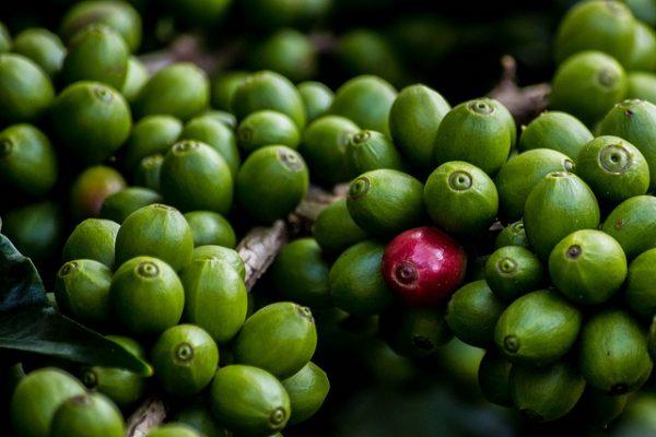 Koffiebes arabica robusta